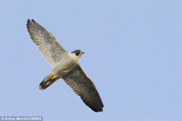 Foto 3 Halcon volando